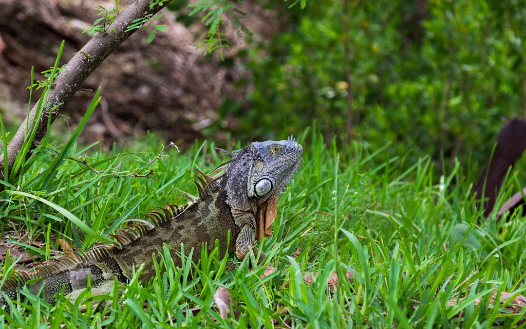 Iguana in the grass