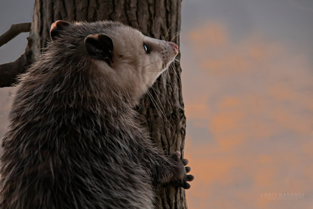 Opposum Sunset