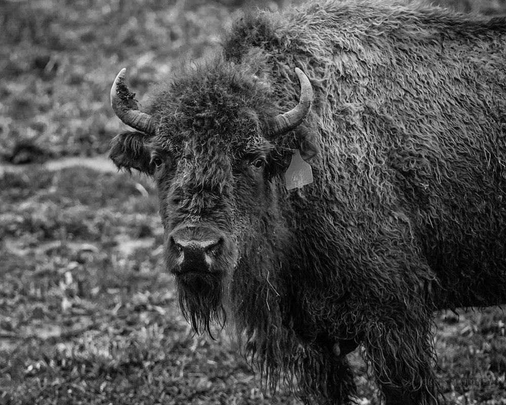 Bison bad hair day