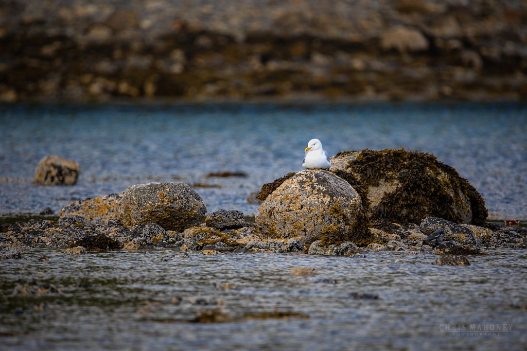 Gull on a rock