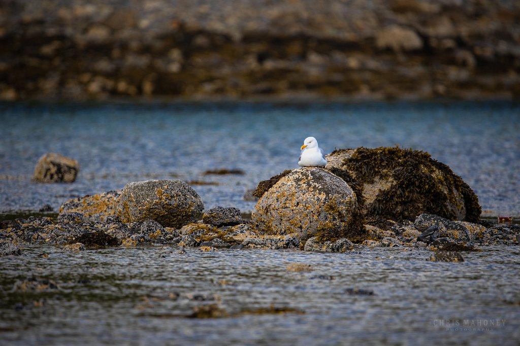 Gull on a rock